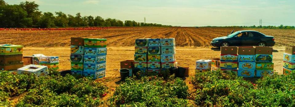 Cбор урожая помидоров в Херсонской области